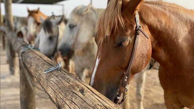 Maneggio porto cesareo cavallo